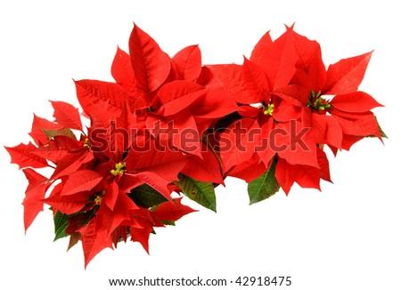 red poinsettias - stock photo