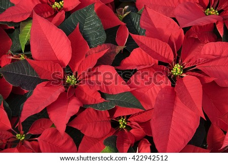 Red Poinsettias for Christmas Decorations - stock photo