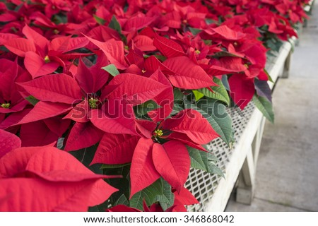 Red Poinsettias in Pots on Display in a Garden Center - stock photo