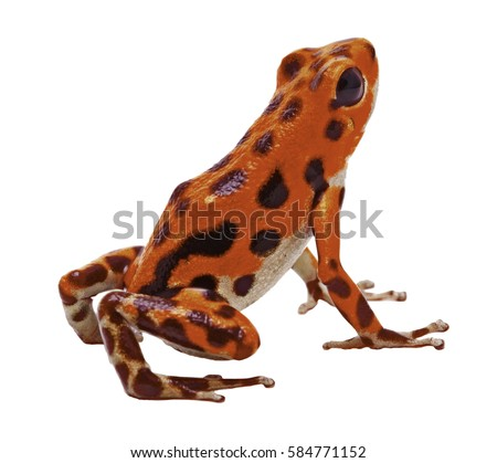 red poison dart or arrow frog from the tropical Island Bastimentos at Red Frog Beach, Boca del Toro, Panama. Tropical poisonous rain forest animal, Oophaga pumilio isolated on a white background.
