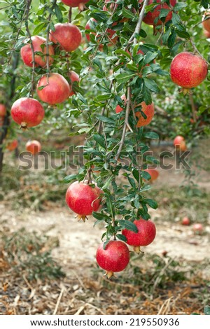 Red pomegranate fruit on the tree in leaves - stock photo