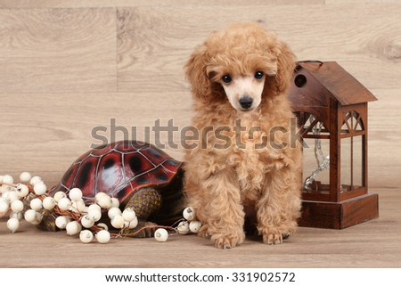 Red poodle puppy posing on wooden background - stock photo