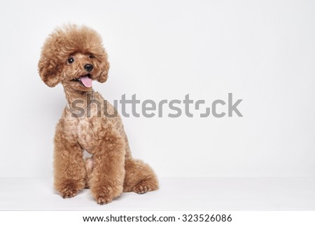 Red Poodle puppy sits on a white background