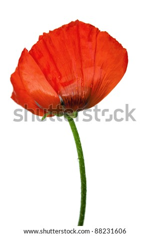 Red poppies after a rain, it is isolated on white - stock photo