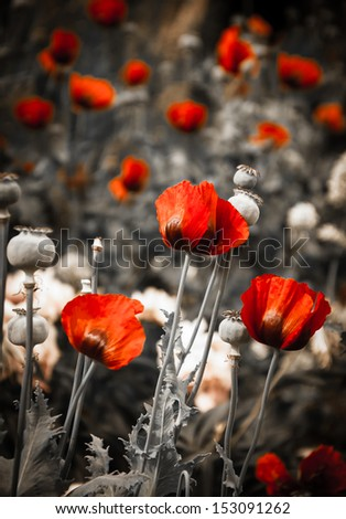 Red poppies and poppy's seed boxes in the meadow. Soft lighting. Vintage background. Shaded angles. - stock photo
