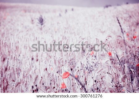 Red poppies and ripe wheat spikes meadow. Selective focus on the spikes at foreground. Toned photo. - stock photo