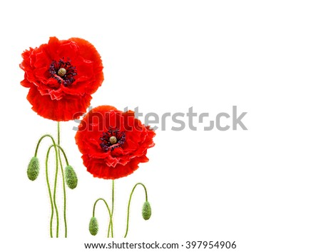 Red poppies (common names: common poppy, corn poppy, corn rose, field poppy, Flanders poppy, red poppy, red weed, coquelicot) on white background with space for text. - stock photo
