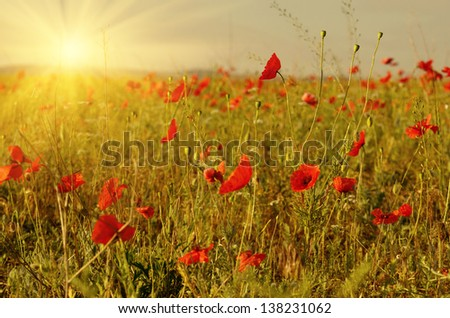 Red poppies field against sunlight - stock photo