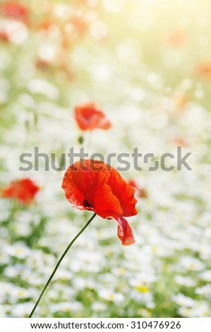 Red Poppies Field in Summertime - stock photo