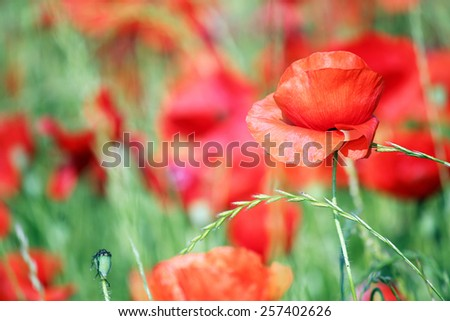 red poppies flower close up springtime - stock photo