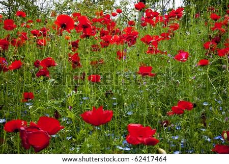 Red Poppies Flowers in Field Snoqualme Washington Papaver Rhoeas Common Poppy Flower - stock photo