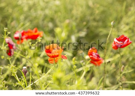 red poppies,garden ,red flowers,red petals,plant,red plants,red flowers,poppies on green,red petals,poppies garden,spring flowers,flowers spring,floral,delicate red flowers,amazing nature,lovely red - stock photo