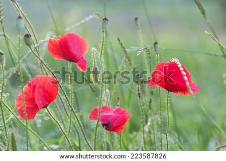 Red poppies grown in wild weeds - (Papaver Rhoeas) - stock photo