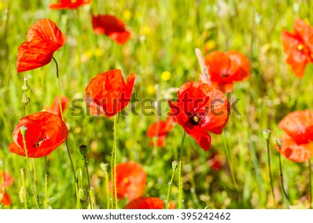 Red poppies in a summer meadow on sunny day. Horizontal shot