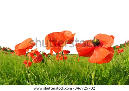 Red poppies in green barley field. Spring season. - stock photo