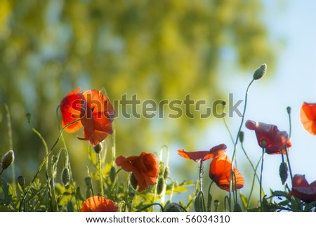 red poppies in sunrise - stock photo