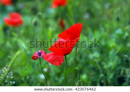 Red poppies in the field - stock photo