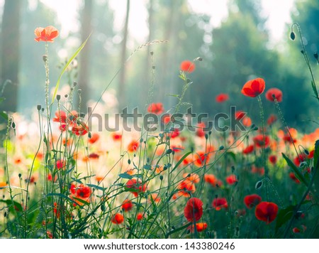Red poppies in the forest at morning - stock photo