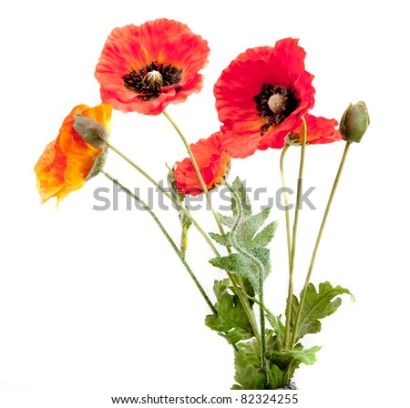 red poppies isolated on white - stock photo
