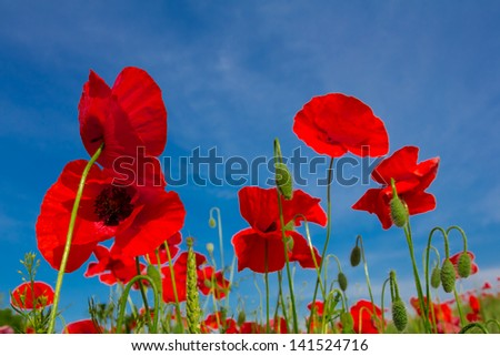 red poppies on a blue sky background - stock photo