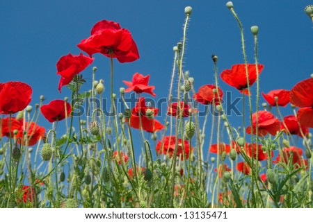 Red poppies on a field against blue sky