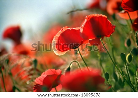 Red poppies on a meadow, summer - stock photo