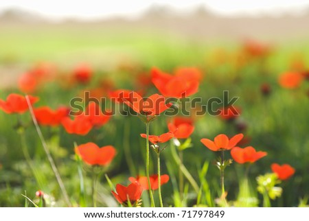 red poppies on a spring lawn