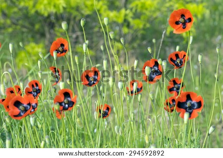 Red poppies on a summer meadow. Crimea - stock photo