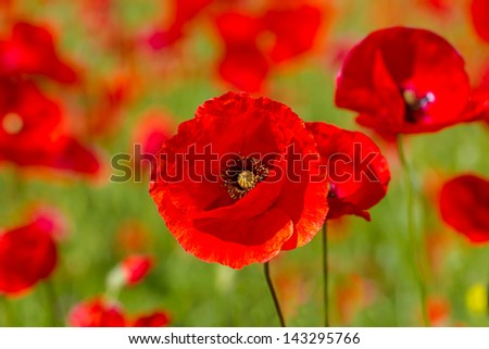 Red poppies on spring meadow,rr - stock photo