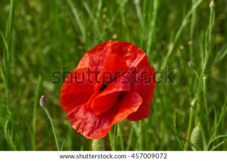Red poppies on summer field in grass.