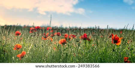 Red poppies on the hill - stock photo