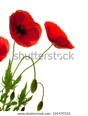 red poppies over white background, border, decorative flowers design - stock photo