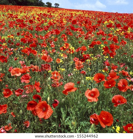 Red poppies overgrowing farmers field of oilseed rape  - stock photo