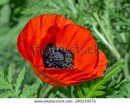 Red poppy and green staff - stock photo