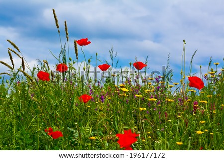 red poppy and wild flowers, summer field - stock photo