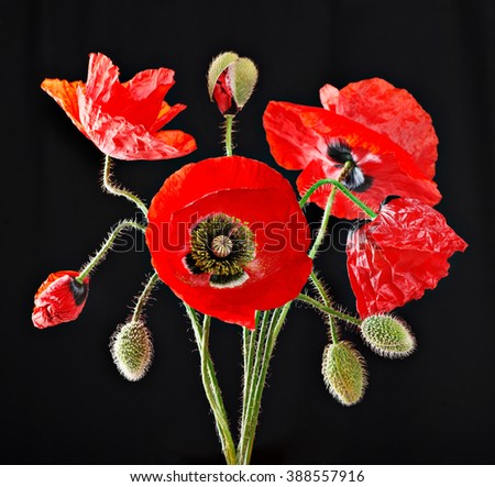 Red poppy buds and blooming flowers bouquet isolated on black background. In case we forget, november 11, Remembrance Day symbol - stock photo