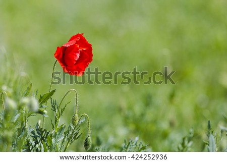 Red poppy (common names: corn poppy, corn rose, field poppy, Flanders poppy, red poppy, red weed, coquelicot) blooming on field, shallow DOF background. - stock photo