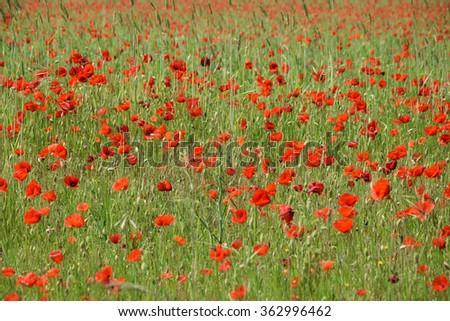 red poppy field background - stock photo
