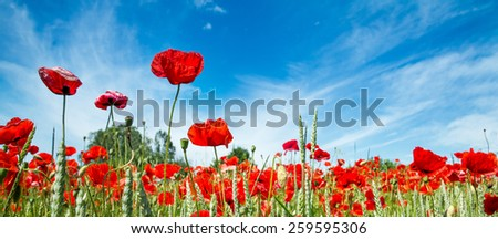 red poppy field with blue sky and clouds - stock photo