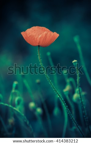 Red poppy flower blooming, floral dark gloomy natural spring  vintage hipster background, can be used as image for remembrance and reconciliation day - stock photo