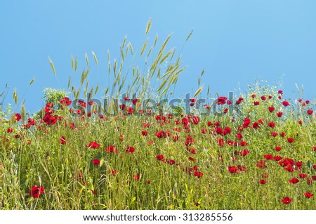red poppy flower field on sunny day against clear blue sky at Ephesus, Turkey - stock photo