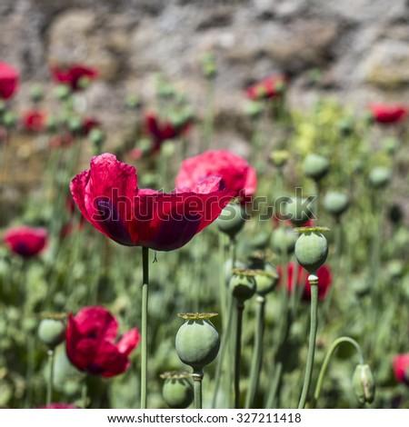 Red poppy flower scottish memorial day stock photo royalty free red poppy flower for scottish memorial day uk memorial day british memorial day mightylinksfo