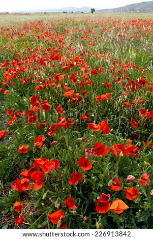 Red poppy flower in nature