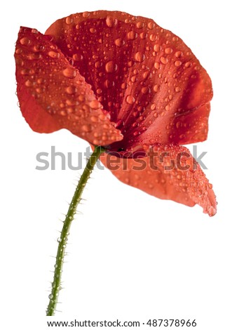 red poppy flower in water drops isolated on white background shots in macro lens close-up
