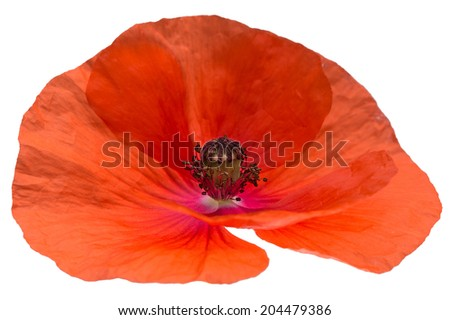 red poppy flower isolated on white background shots in macro lens close-up - stock photo