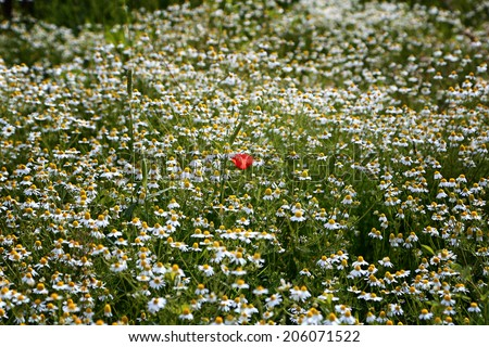 Red poppy flower (Papver rhoeas) alone among white and yellow daisies (bellis perennis) and chamomile (matricaria chamomilla) in  a green weeds field in Italian countryside during early summer - stock photo