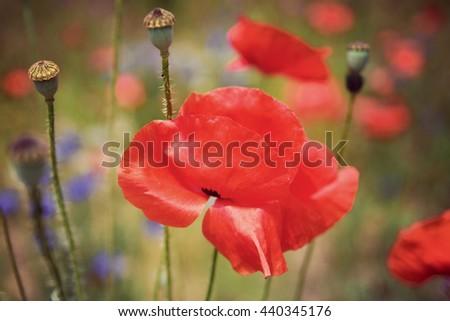 Red Poppy flower, Vintage filter - stock photo