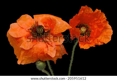red poppy flowers - stock photo