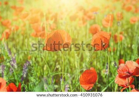 Red poppy flowers blooming in the green grass field, floral sunny natural spring background, can be used as image for remembrance and reconciliation day - stock photo