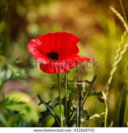 Red poppy flowers blooming in the green grass field, floral sunny natural spring  vintage hipster background, can be used as image for remembrance and reconciliation day - stock photo